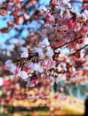 Cherry Blossoms - Washington D.C.